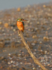 kingfisher on branch in marsh at sunset