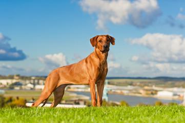 Beautiful dog rhodesian ridgeback
