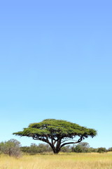Single acacia in African grassland
