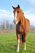 cheval de face dans un pré