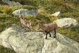 female chamois with baby in French Alps