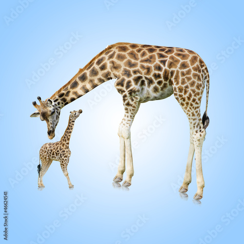 Fototapety, obrazy : Giraffe And Young One