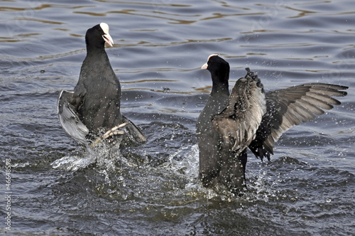 Common Coots Fighting