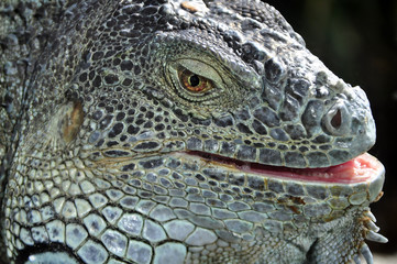 Closeup portrait of an iguana
