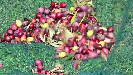 Olive harvesting II