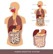 Digestive system, detailed medical illustration