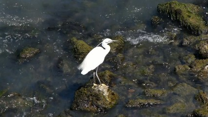 Little Egret . Garzetta