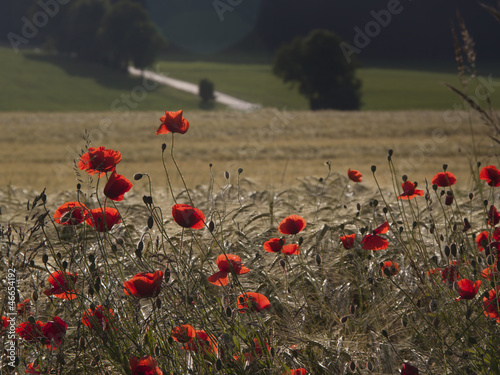 canvas print picture Mohnblumen