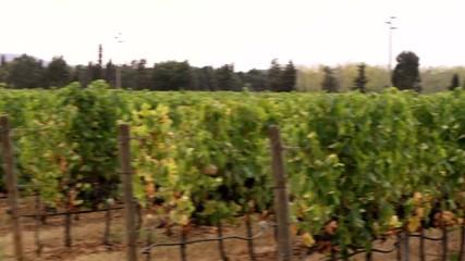 виноградная плантация