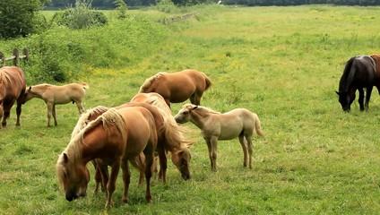 mandria di cavalli in libertà
