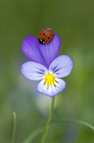 Ladybug on heartsease, vibrant summer photo