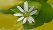 White flower in water with reflection