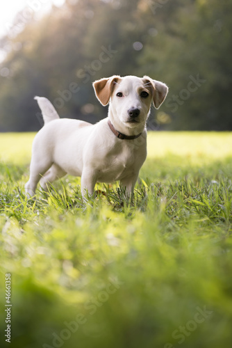 young white jack russell on grass in park