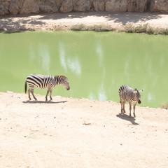 Zebras grazing in Lake