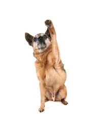 a cute chihuahua with his paw up