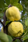 Ripe yellow quinces hanging on a branch