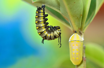 Before pupation, Metamorphosis of Plain Tiger Butterfly