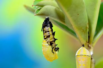 Metamorphosis of Plain Tiger Butterfly