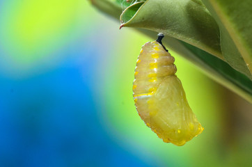 Pupa Plain Tiger Butterfly after process pupation