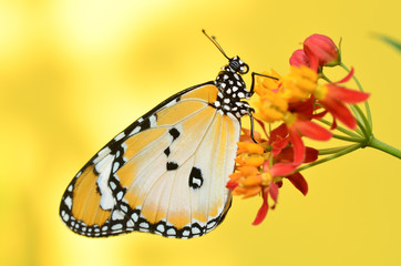 Plain Tiger Butterfly on Milkweed flower
