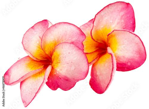 frangipanier rose