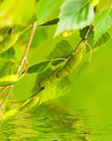 Fototapeta drzewo - liść - Kwiat