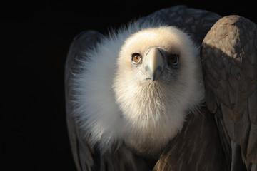 Avvoltoio delle nevi