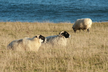 flock of sheep on Northumberland coast