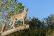 Cheetah Standing on Tree Branch with Copy Space