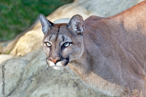 Aluminium Puma Head Shot of Beautiful Puma in Afternoon Sun