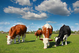 Fototapety Cows grazing on pasture