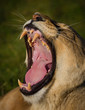 A wide yawn from a lioness