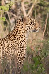 Leopard  sucht nach Beute im Busch