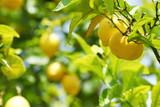 Fototapety Lemon close up