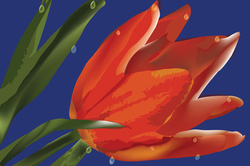 red tulip with drops over blue background - eps 10