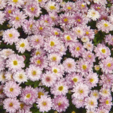 pink chrysanthemumms floral background