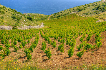 Vineyards, southern coast of Hvar island,Croatia
