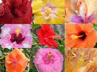 variétés d'hibiscus