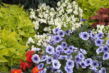 Sommerblumen, Petunien, Begonien