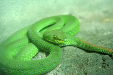 Green pit viper eyes.