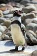 Humbols Penguin