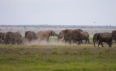 Scontro tra elefanti maschi