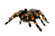 Orange Knee Tarantula - 46721542