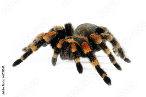 Orange Knee Tarantula