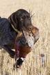 Hunting Dog with a Rooster Pheasant