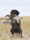 Hunting Dog with a Drake Pintail poster