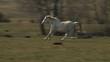biały koń galopuje w slow motion