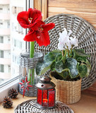 Composition from a cyclamen and  hippeastrum. Eve of Advent