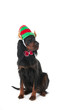 Dog with elf hat