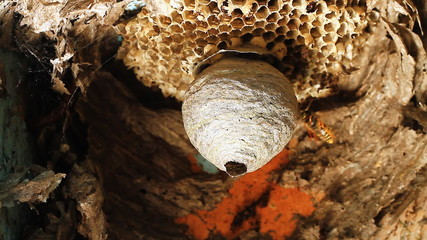 Wasps building a nest.